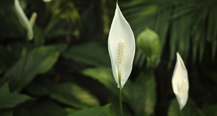 A Peace Lilly can help reduce humidity at home
