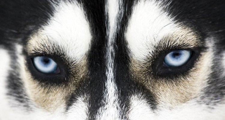 Huskies siberianos são bons animais de estimação para a família