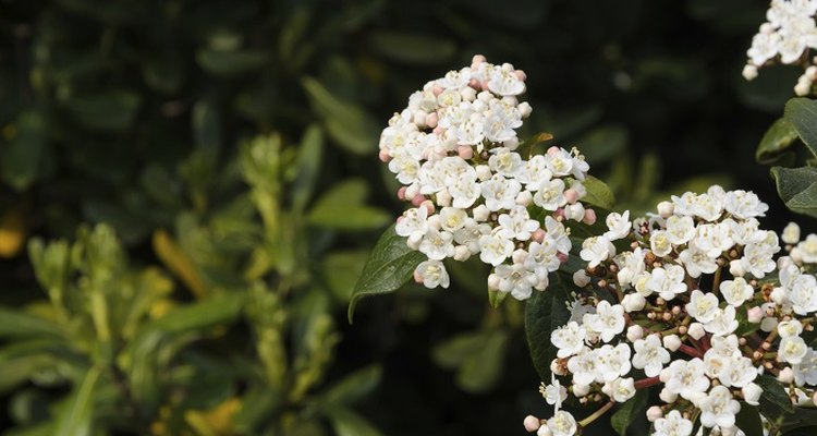 Viburnum tinus produces small white flowers at the end of the winter.
