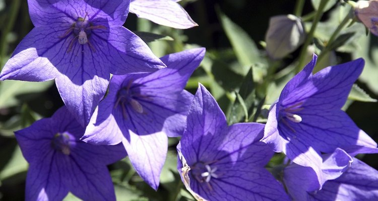 Balloon flowers produce several flowers on one stem.