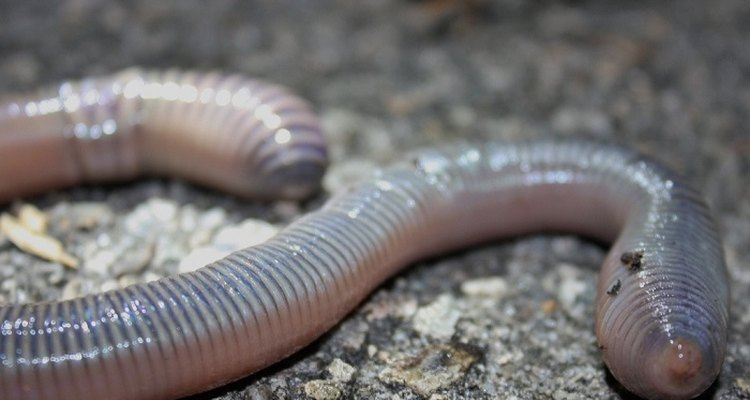 Earthworms don't have to travel far to find a suitable mate.