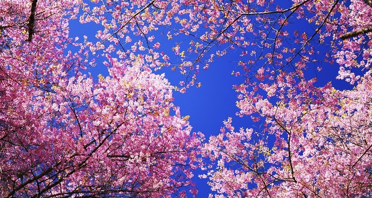 Flowering cherries commonly blossom in the spring before the leaves form.