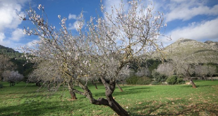 Almond trees should be pruned to maintain health and ease of mechanical harvesting.