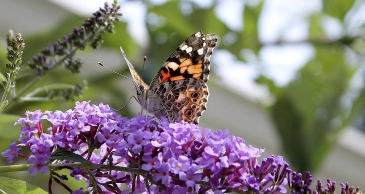 Butterflies and bees love buddleia plants.