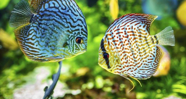 Transfira o peixe fecundado para outro aquário