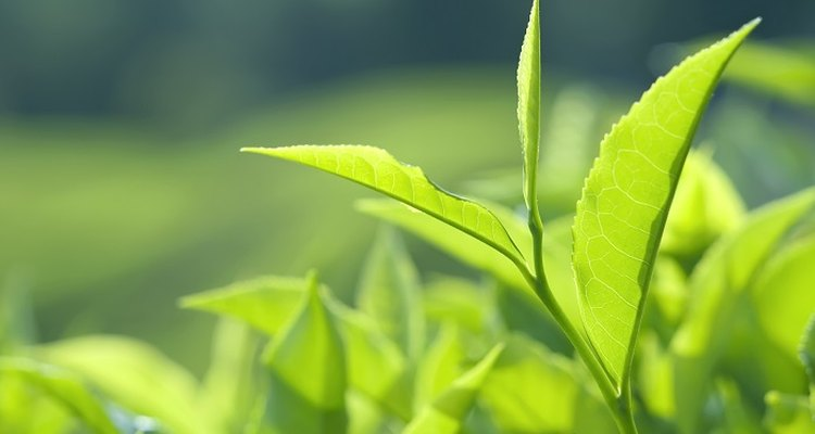 Tea tree plants thrive in hot climates so grow them under glass in the UK.
