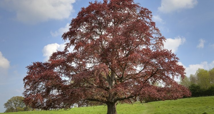 The copper beech is a familiar feature in the English landscape.