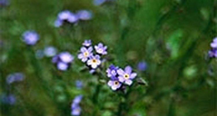 Cultiva no me olvides (Myosotis Sylvatica).