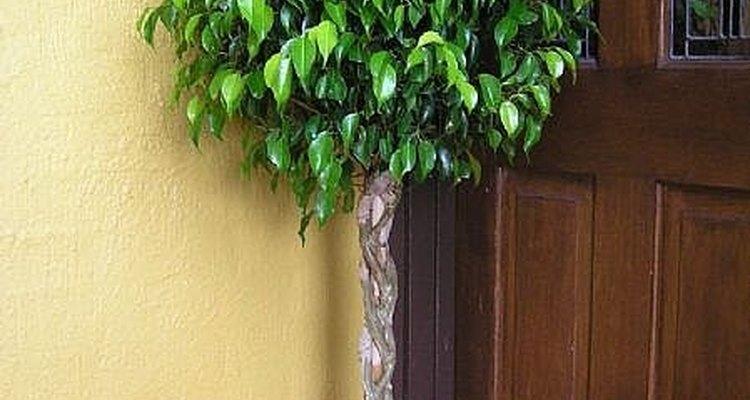 Cuide de sua Ficus benjamina