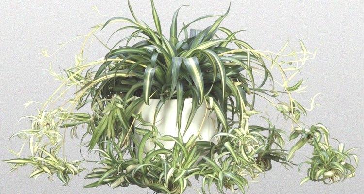 Cuidados de una planta araña.