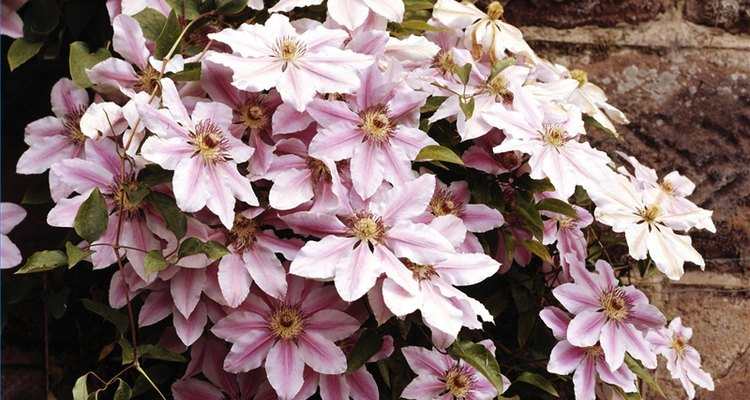 Cultiva Clematis perenne.