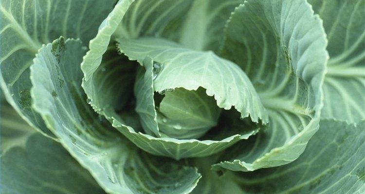 Use folhas de repolho para desmamar