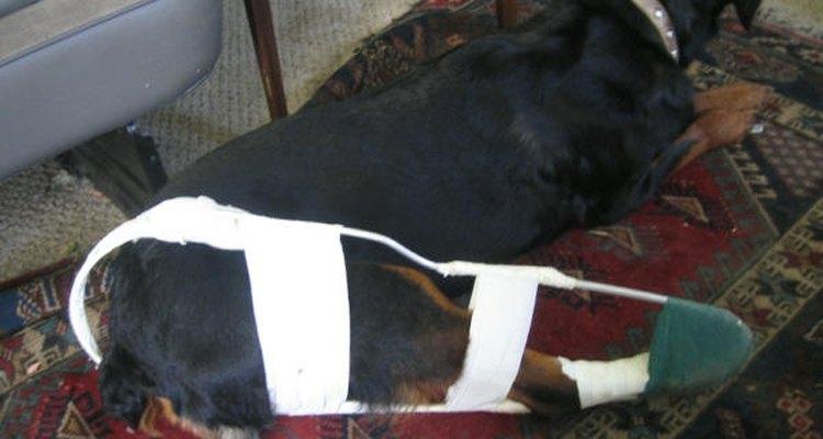Uma muleta de Thomas em um rottweiler