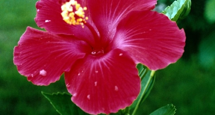 Observa como las plantas de hibisco alcanzan su máxiima floración siguiendo estos consejos.