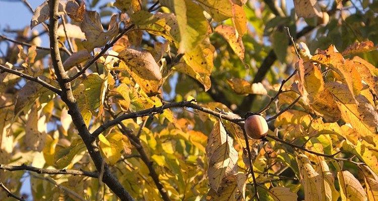 Un caqui americano en el otoño.