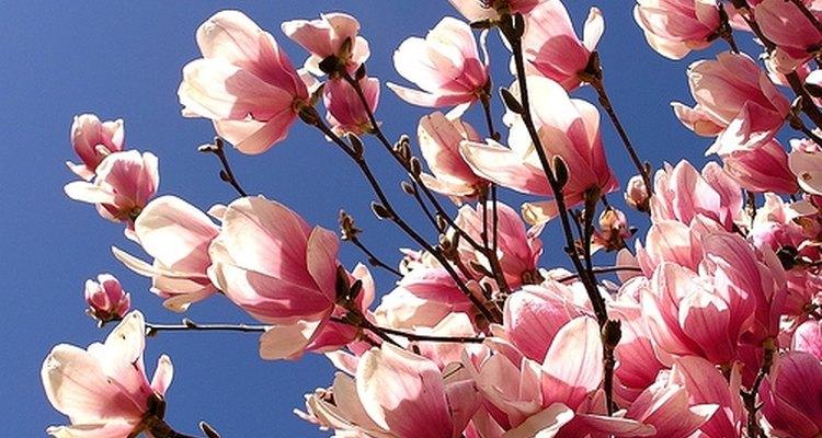 Grow Magnolia Trees