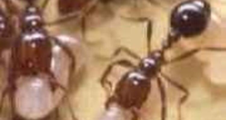 Tire as formigas rapidamente das árvores