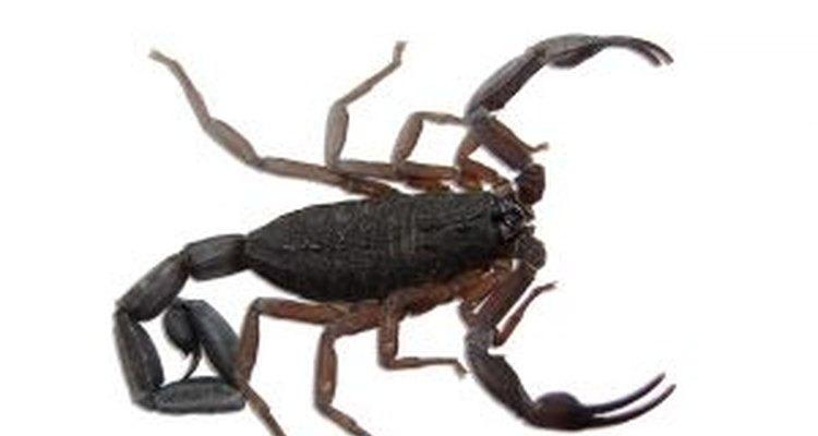 Nunca desafie um escorpião