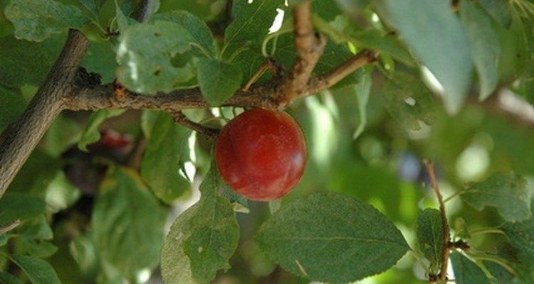 Los durazneros son árboles frutales muy cambiantes que necesitan mucha agua.