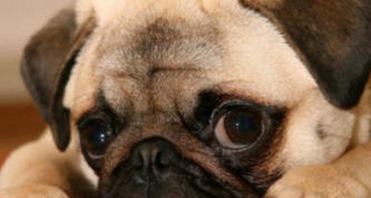 Saiba como reduzir a queda de pelos em cães da raça Pug
