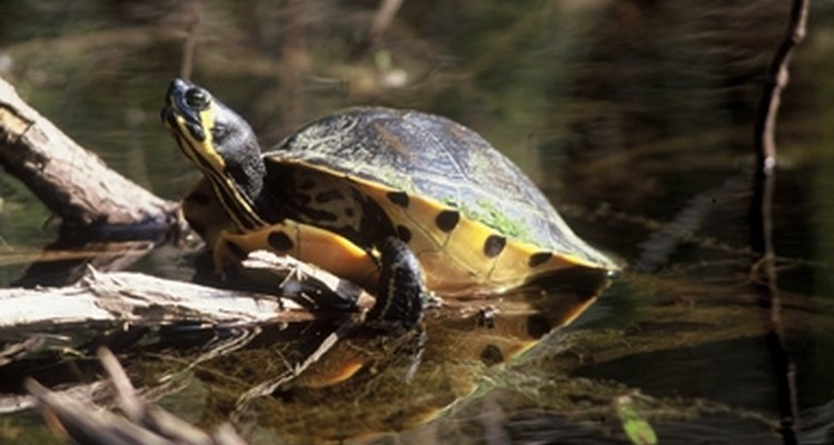 Tortuga river cooter.