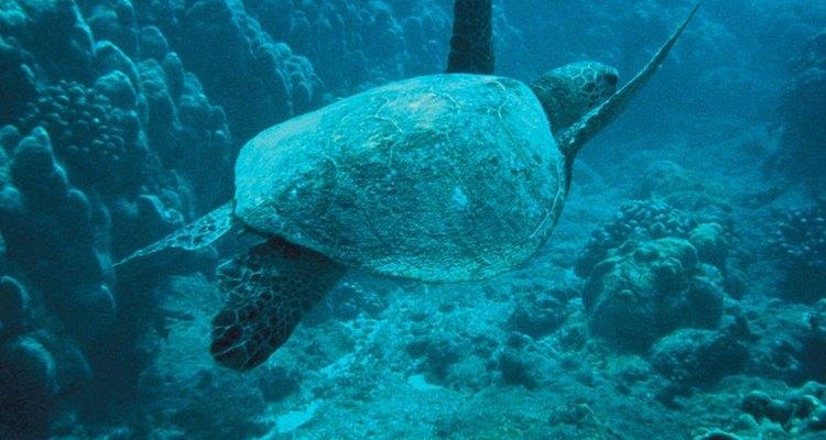 La tortuga marina verde.
