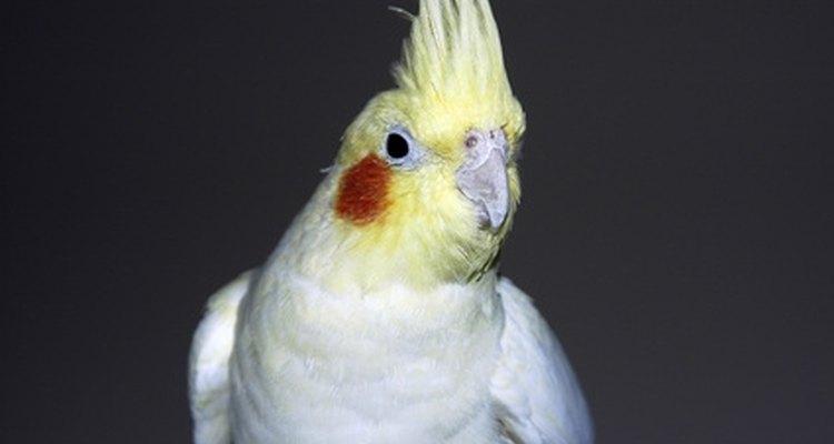 Calopsitas macho geralmente apresentam manchas na bochecha de cor viva de laranja