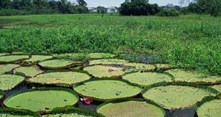 La flor más grande del mundo pertenece al Amazonas.