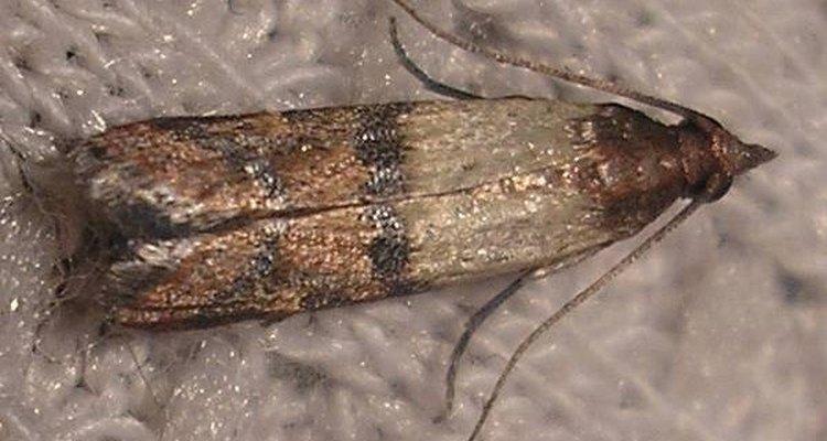 Mariposa-da-despensa