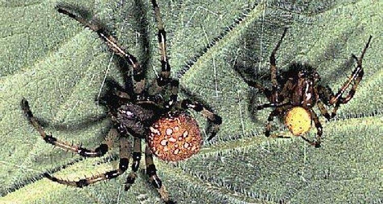 Las arañas controlan las poblaciones de insectos.