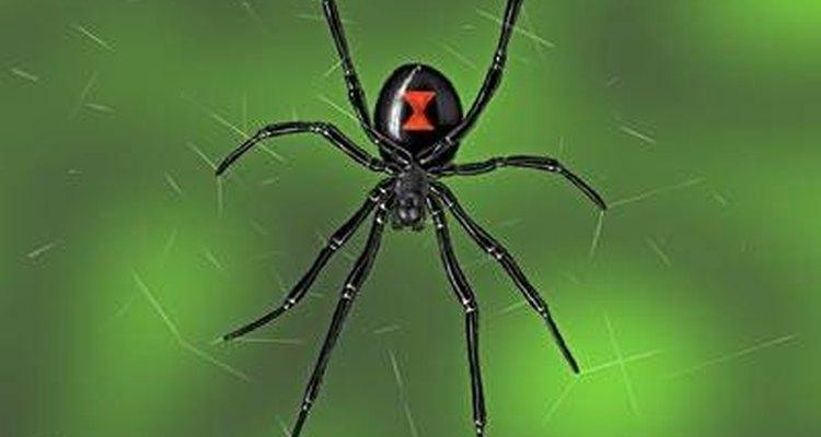 Algunas arañas son muy venenosas.