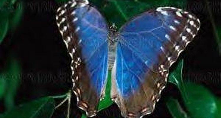 Anatomia da borboleta