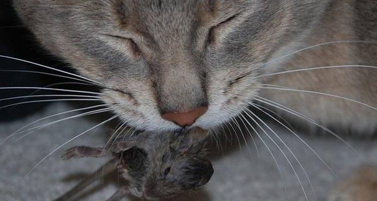 Los gatos son grandes cazadores de ratones.