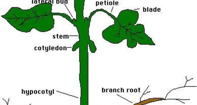 Las plantas almacenan el exceso de azúcar.