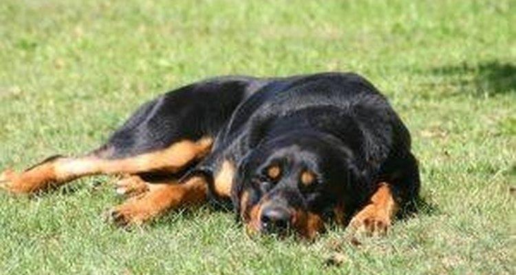 Lesiones de hombro en perros.