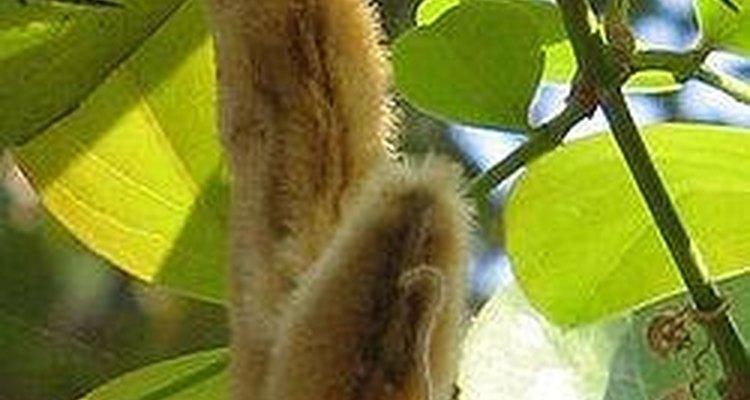 Ingredientes que podem compor o pó de mico