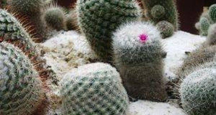 Si eres paciente y laborioso obtendrás buenos resultados y un cactus que será parte de tu familia durante muchos años.