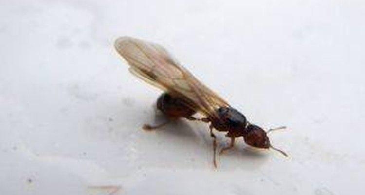 Formiga com asas
