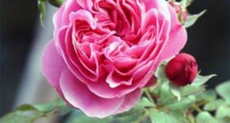 Rosa trepadora.