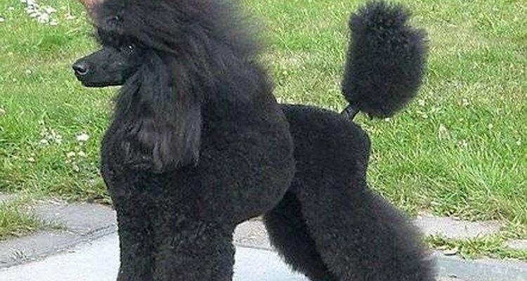 Los perros de algunas razas tienen problemas genéticos de salud.