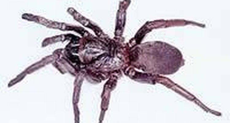 Araña ctenízidae