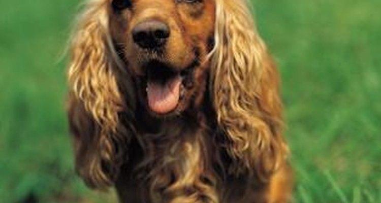 Las alergias ambientales pueden causar picazón al perro.