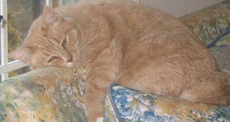 Bolsa de gordura em gato