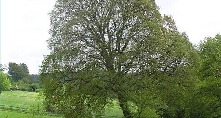 No hay una edad promedio para un árbol: la vida del árbol depende del tipo.