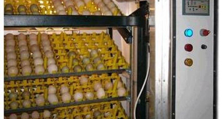 Incubadoras de ventilação forçadas chocam mais ovos