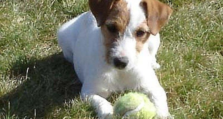 Parson russell terrier também é conhecido como 'jack tussell terrier'