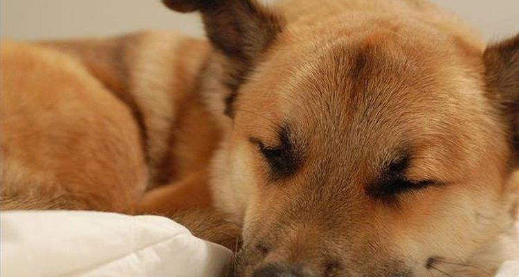 Efectos secundarios de la prednisona en caninos.