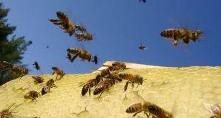 Abelhas saindo de uma colmeia no verão