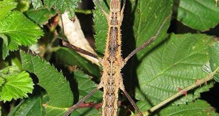 Esse disfarce inteligente os torna um dos insetos mais fascinantes do mundo