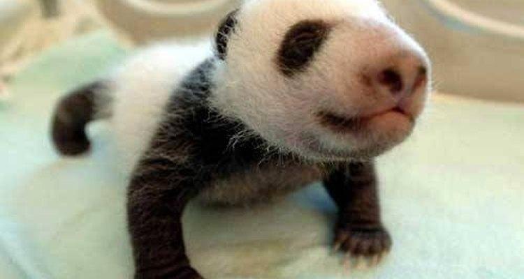 Panda bebé.